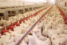 鳥インフルエンザにかかると殺処分する理由はなぜ?鶏肉や卵は食べても大丈夫?
